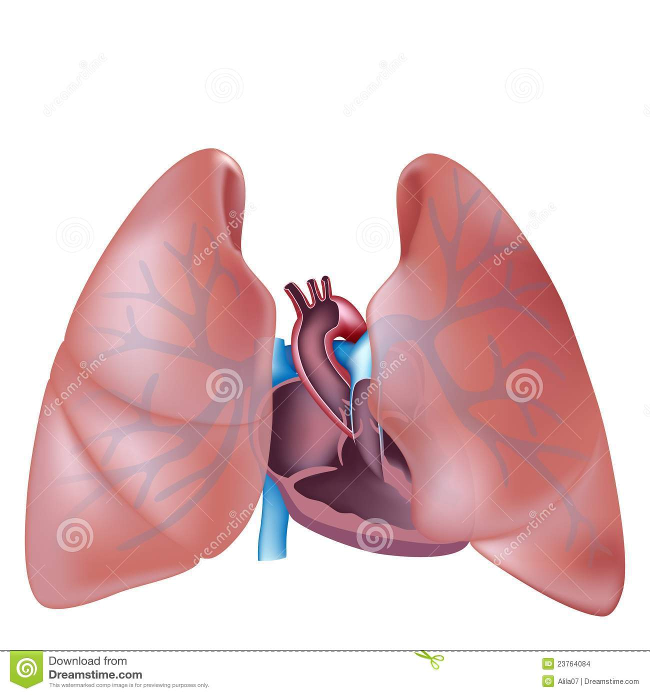 Heart Cross Section And Lungs Anatomy Stock Vector Illustration Of