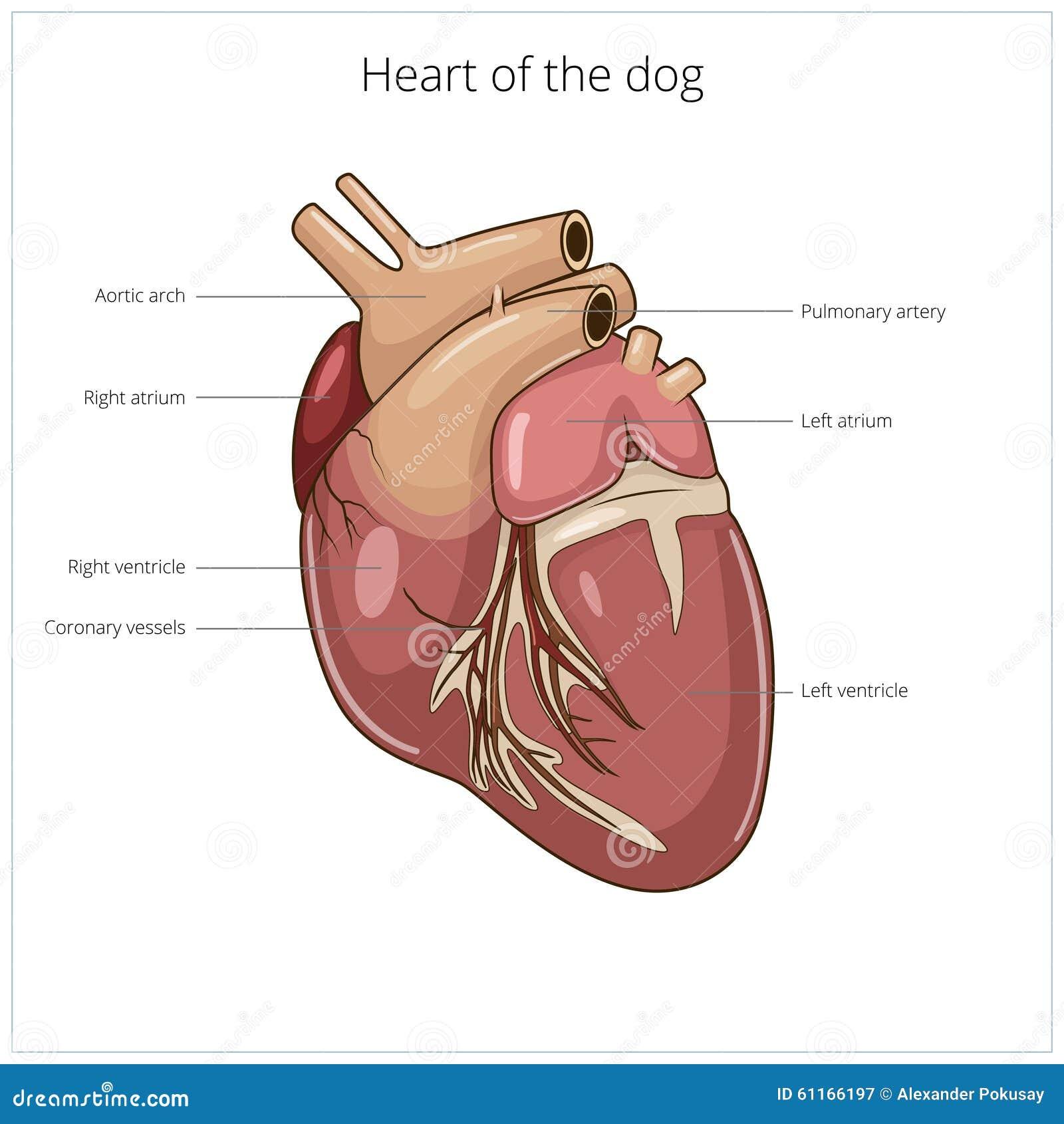Heart Of A Dog Vector Illustration Stock Vector - Illustration of ...