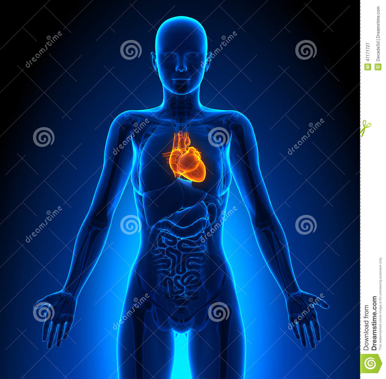 Heart Female Organs Human Anatomy Stock Illustration