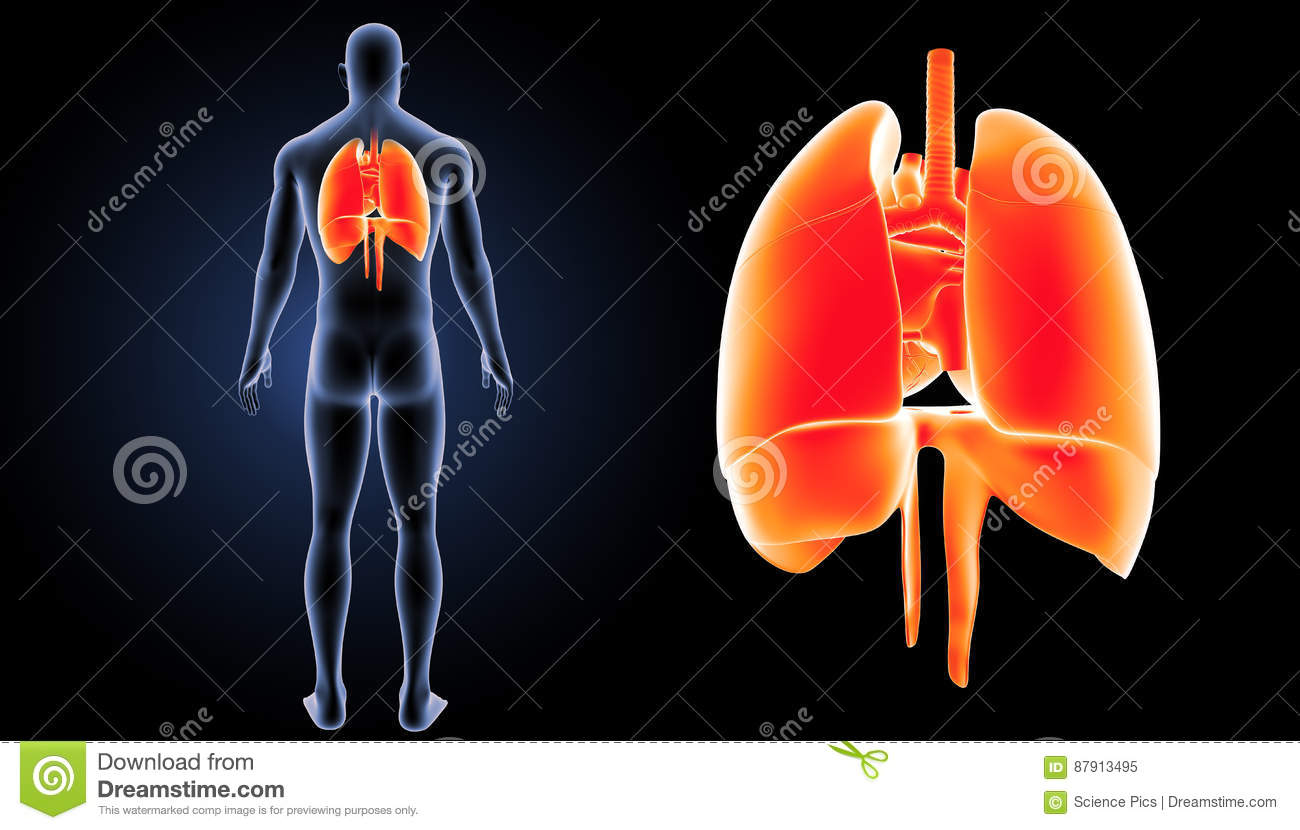 Heart, Lungs And Diaphragm Zoom With Body Posterior View ...