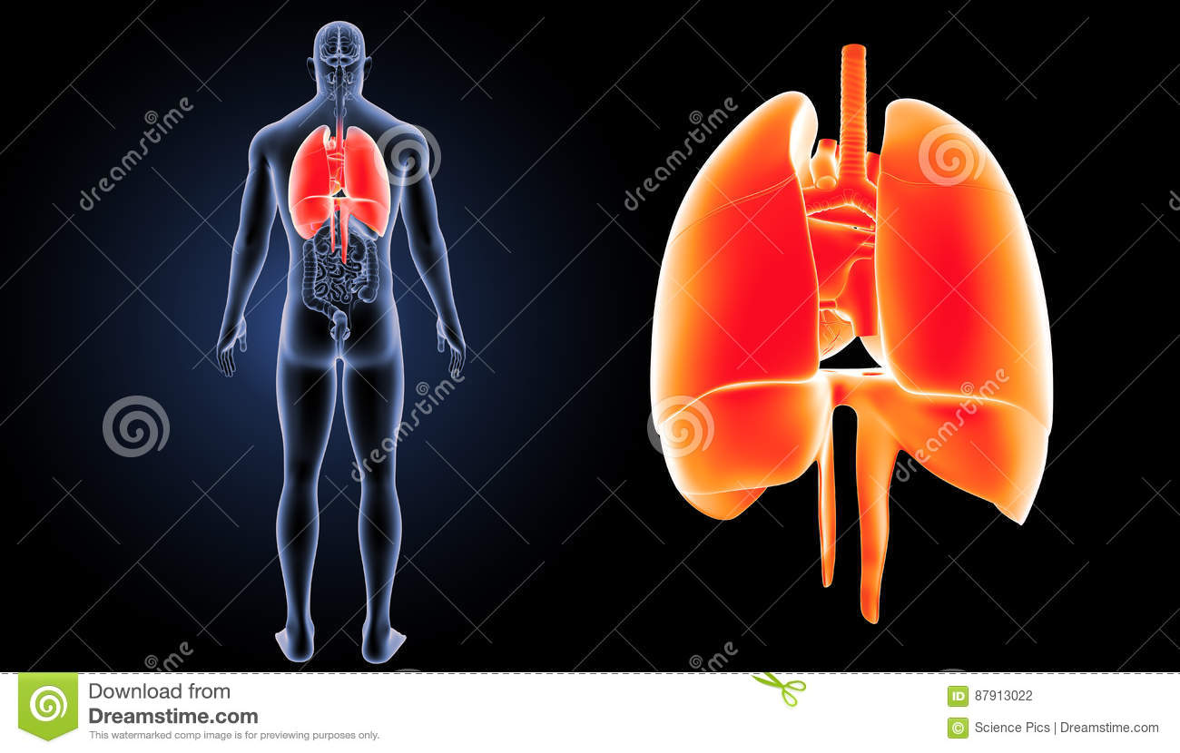 Heart Lungs And Diaphragm Zoom With Organs Posterior View Stock
