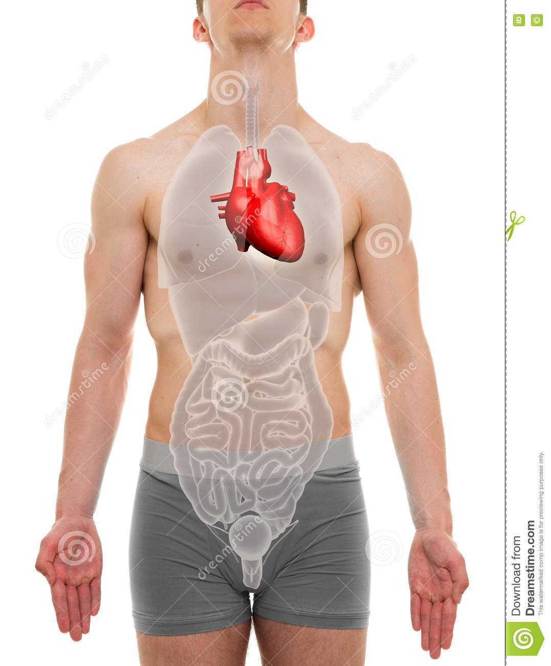 Heart male internal organs anatomy 3d illustration stock photo download heart male internal organs anatomy 3d illustration stock photo image of chest ccuart Choice Image