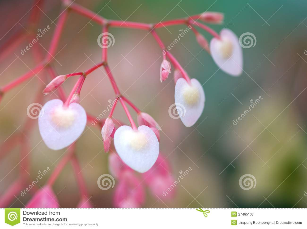Heart Shape And Sweet Pink Color Begonia Flower Stock Image Image