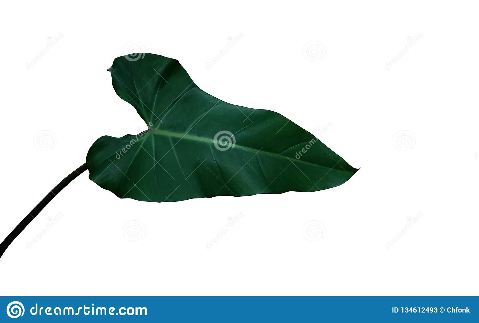 Heart Shaped Dark Green Leaf Of Climbing Philodendron