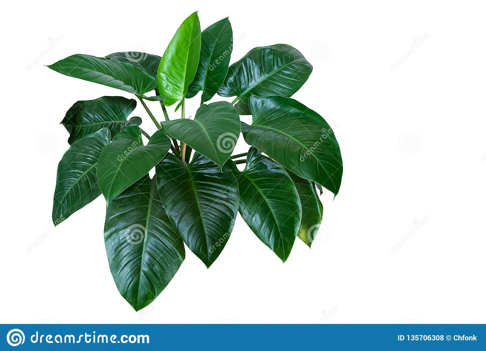 "Heart shaped dark green leaves of philodendron ""Emerald Green"" tropical foliage plant bush isolated on white background,"