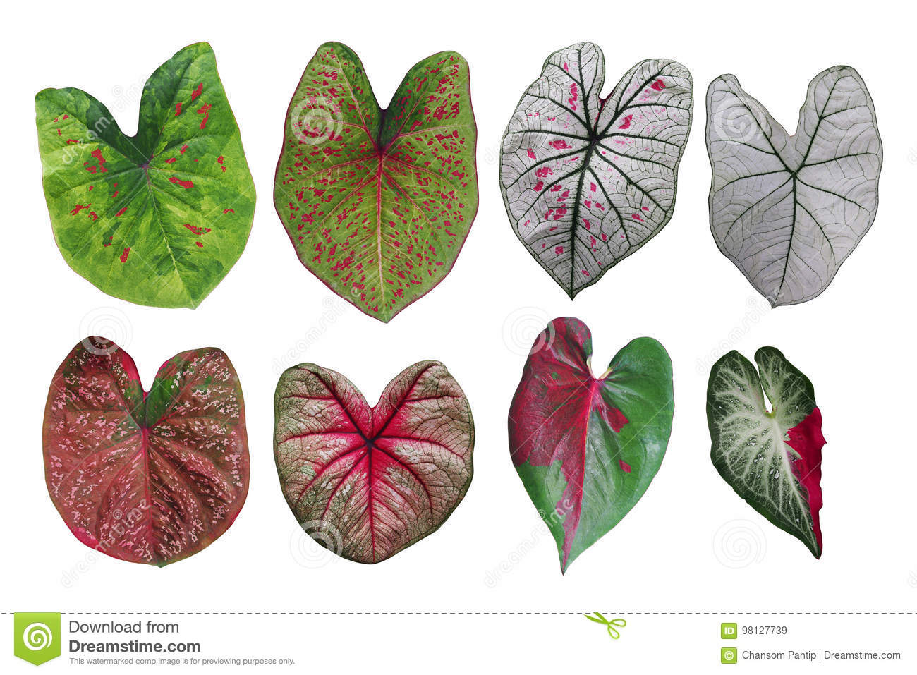 Heart shaped fancy leafed Caladium variegated collection, the tr
