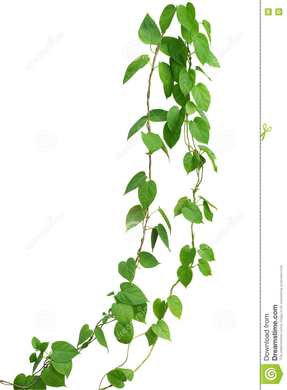Heart Shaped Green Leaf Vines Isolated On White Background Clip