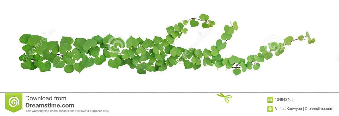 Heart shaped green leaves with bud flower climbing vines tropical plant isolated on white background, clipping path included