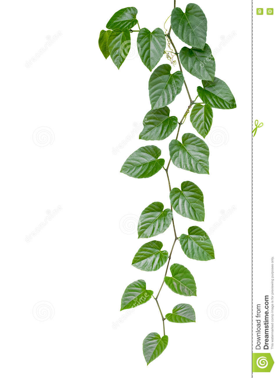 Heart shaped green leaves jungle vine isolated on white backgrou download heart shaped green leaves jungle vine isolated on white backgrou stock image image of mightylinksfo