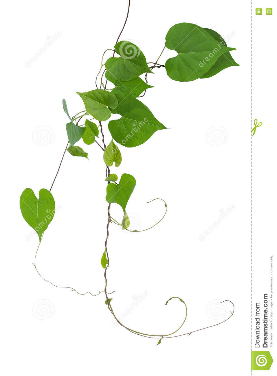 Heart Shaped Green Leaves Wild Vine With Branches And Tendrils I