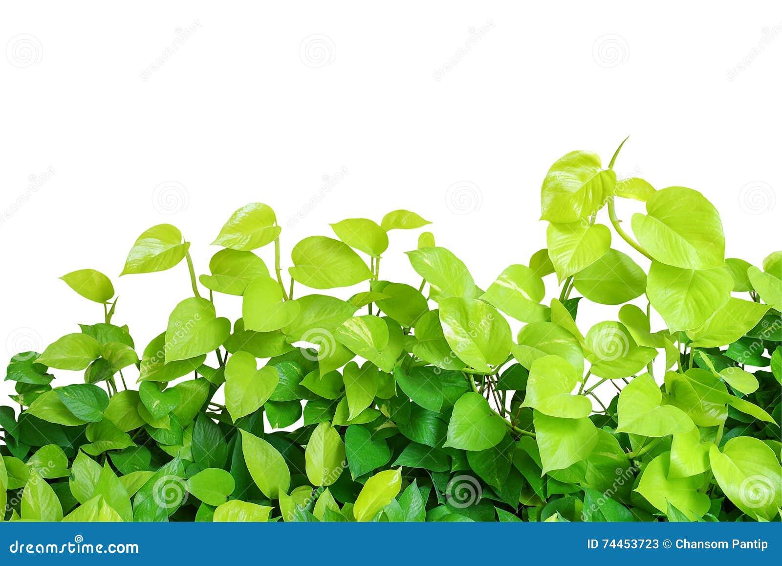 Heart shaped green yellow leaves vine devils ivy golden potho download heart shaped green yellow leaves vine devils ivy golden potho stock image mightylinksfo