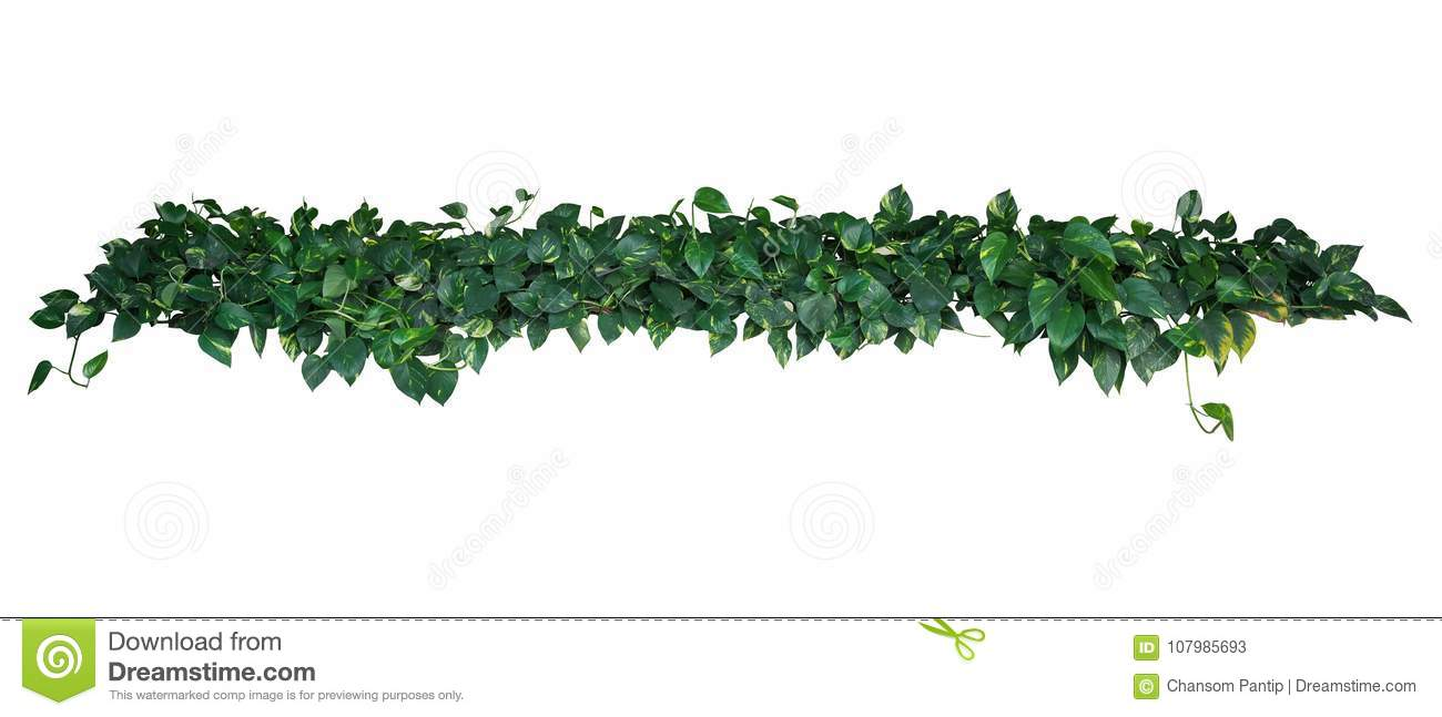Heart-shaped green yellow variegated leaves of devil`s ivy or go