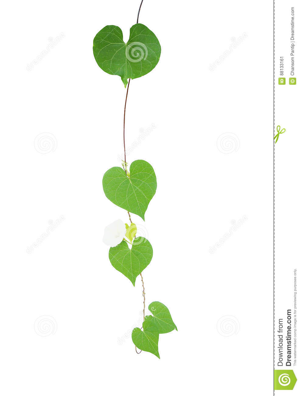 Heart Shaped Greenery Leaves Tropical Wild Vine With Tiny White