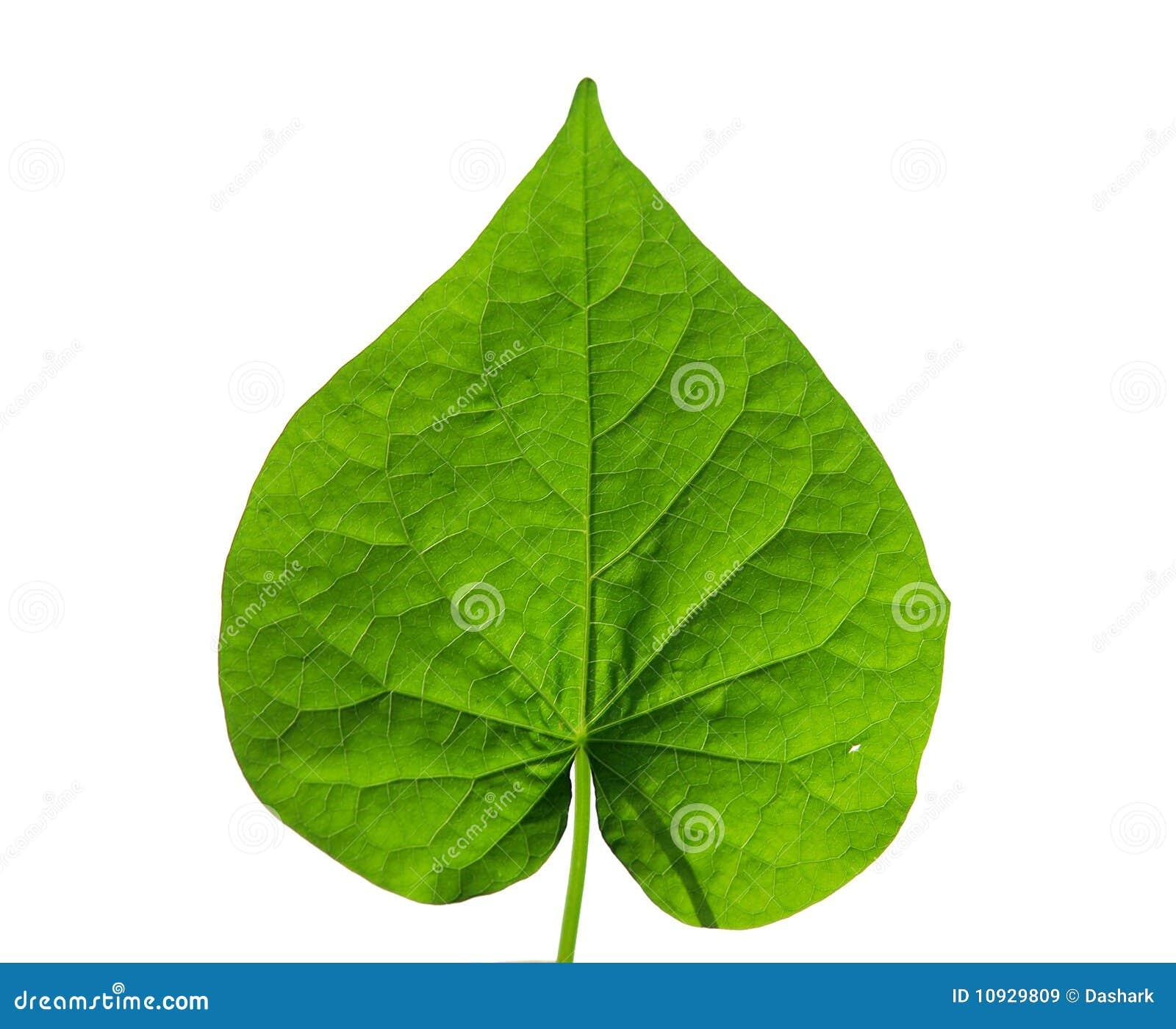 Heart shaped leaf stock image image of close concept - Plantas de hojas verdes ...