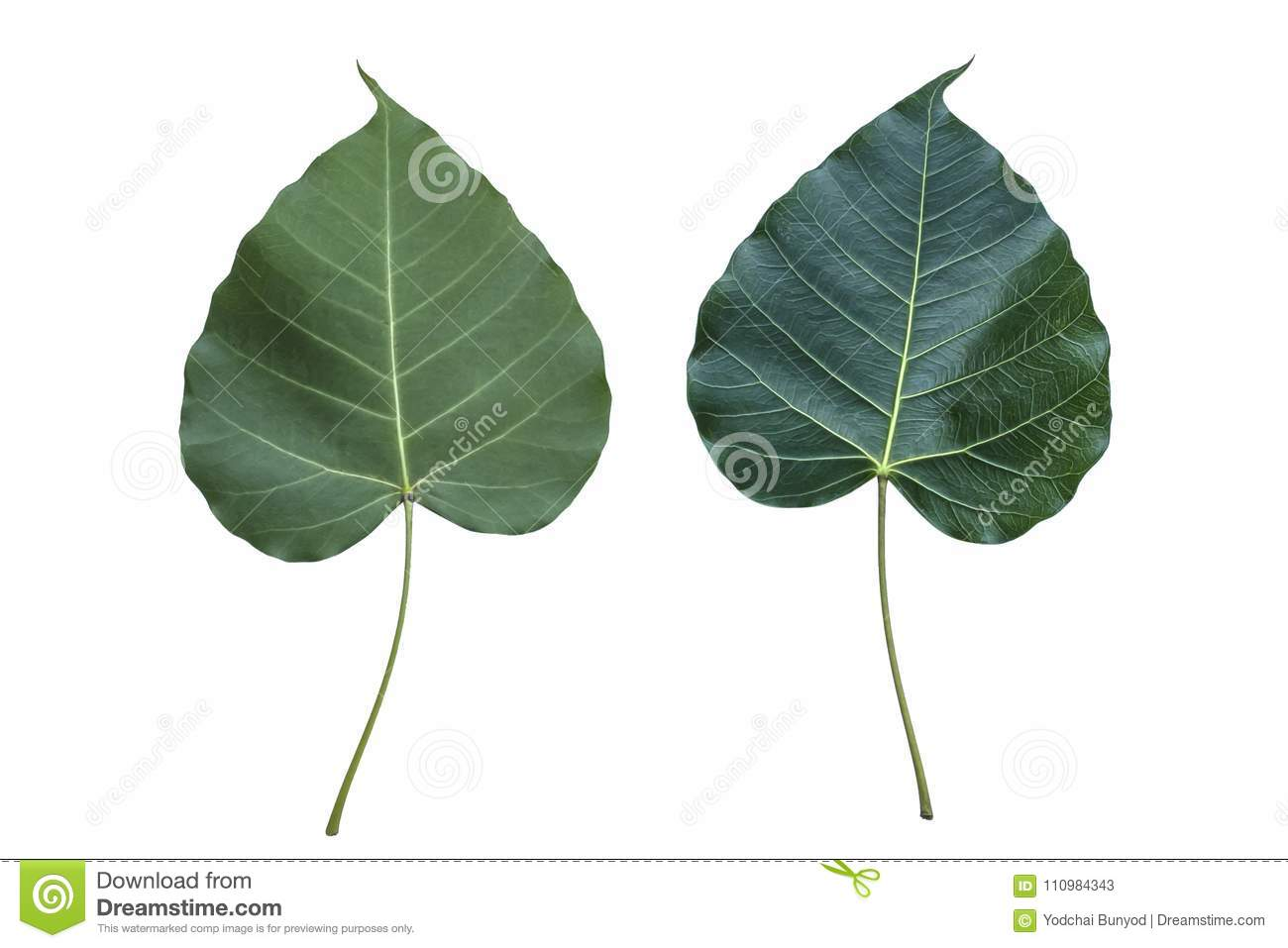 Heart Shaped Leaves Isolated On White Background Stock Image Image