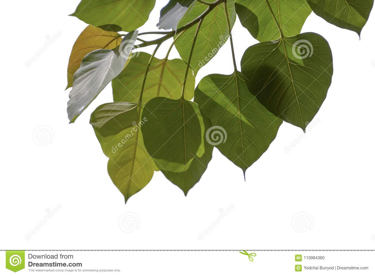 Heart Shaped Leaves Isolated On White Background Stock Photo Image