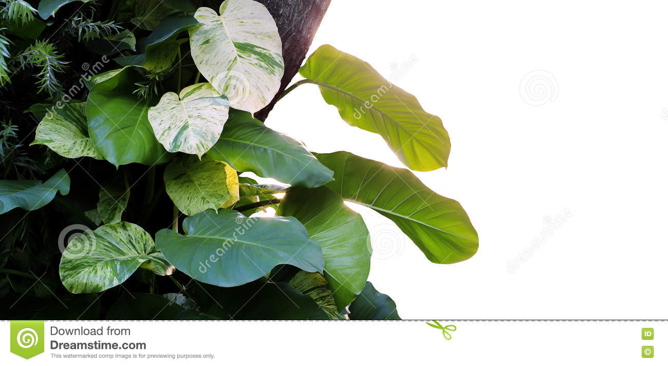 Heart Shaped Leaves Vine Devils Ivy Golden Pothos Epipremnum