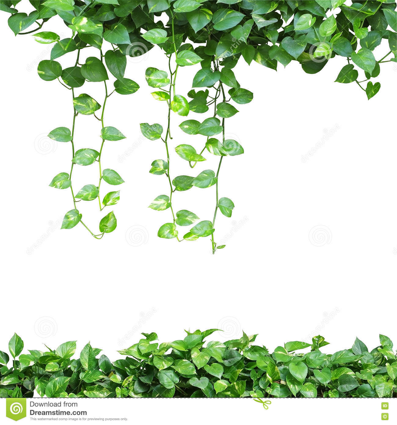 Heart shaped leaves vine devils ivy golden pothos isolated o heart shaped leaves vine devil s ivy golden pothos isolated o mightylinksfo