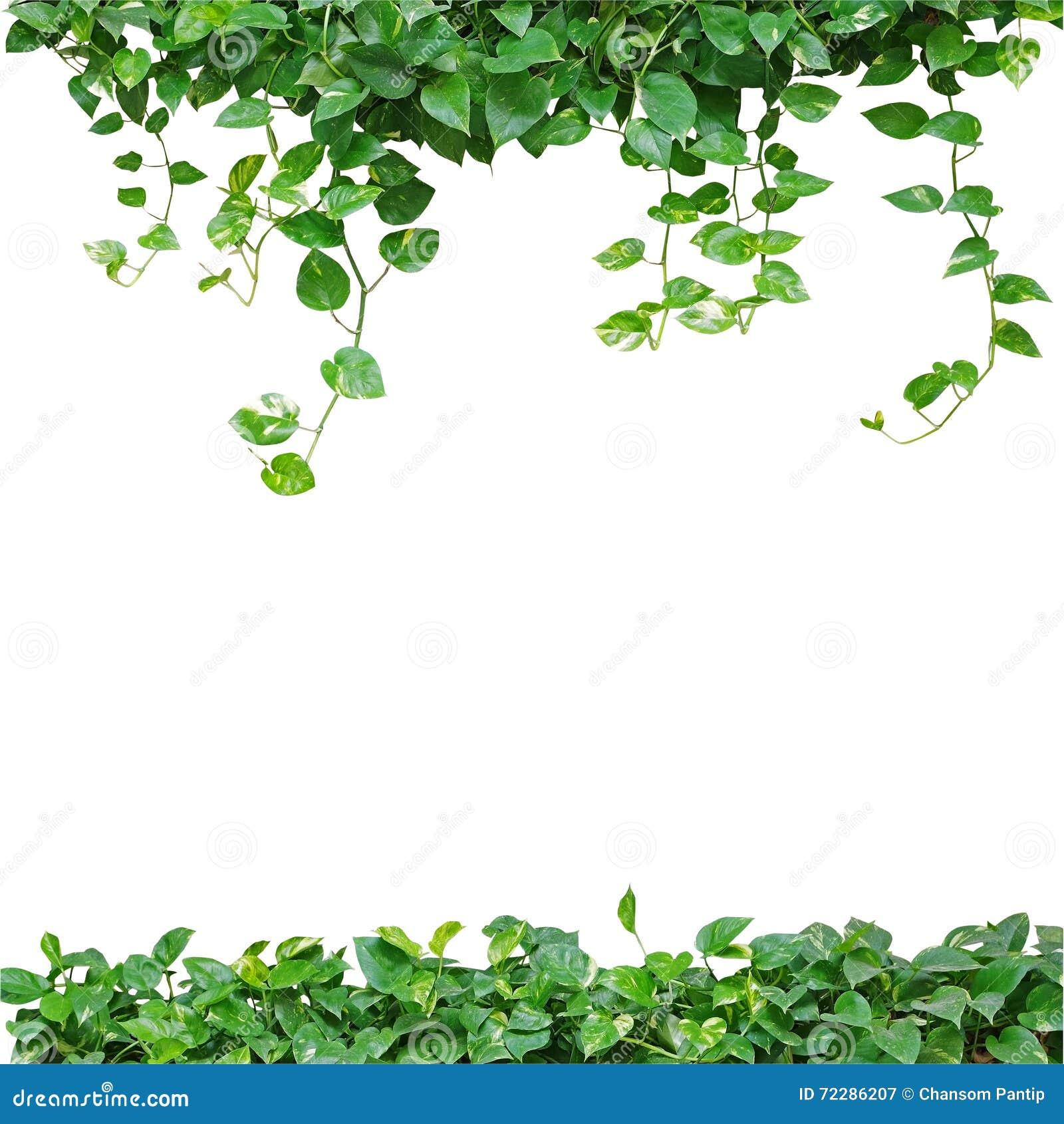Heart shaped leaves vine devils ivy golden pothos isolated o heart shaped leaves vine devils ivy golden pothos isolated o royalty free stock image cartoondealer 74453620 mightylinksfo
