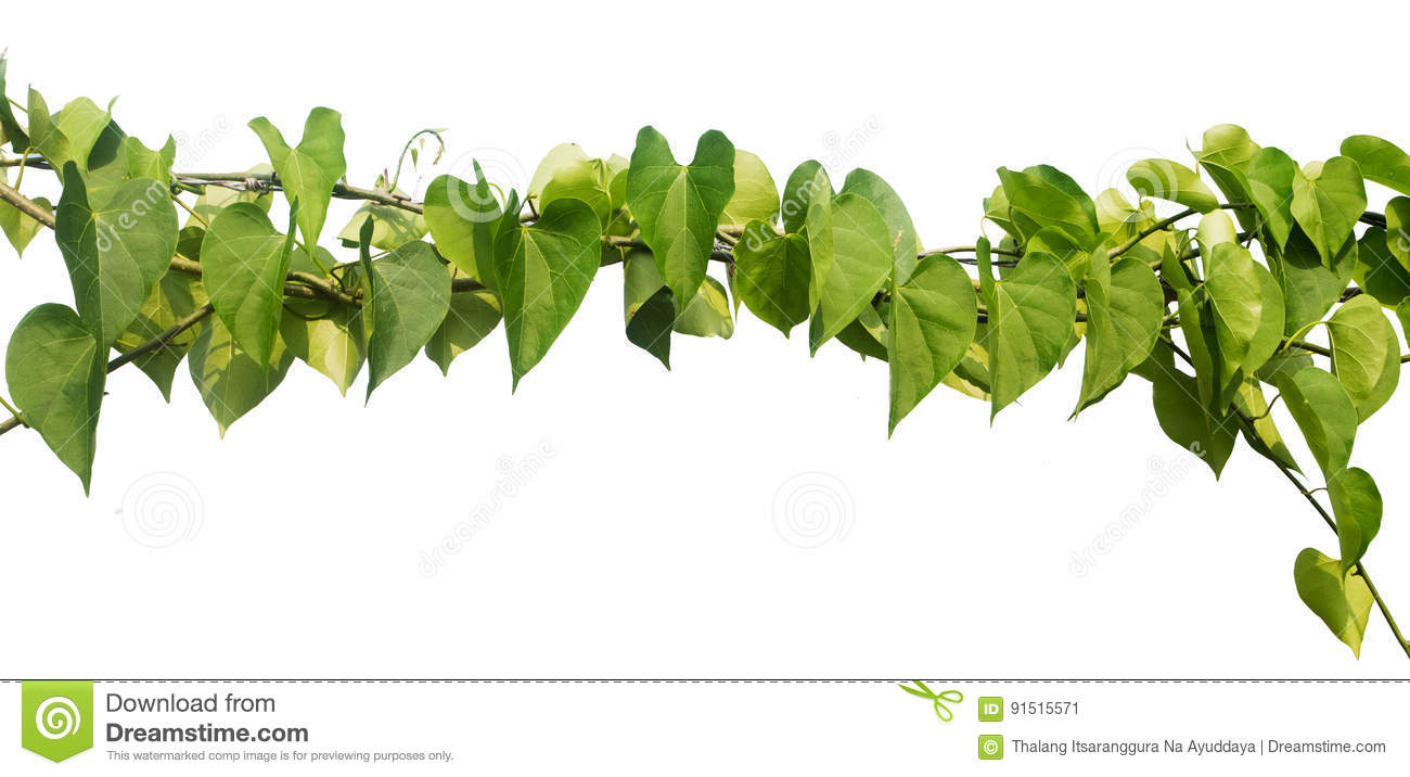 Heart Shaped Leaves Vine Isolated On White Background Stock Image