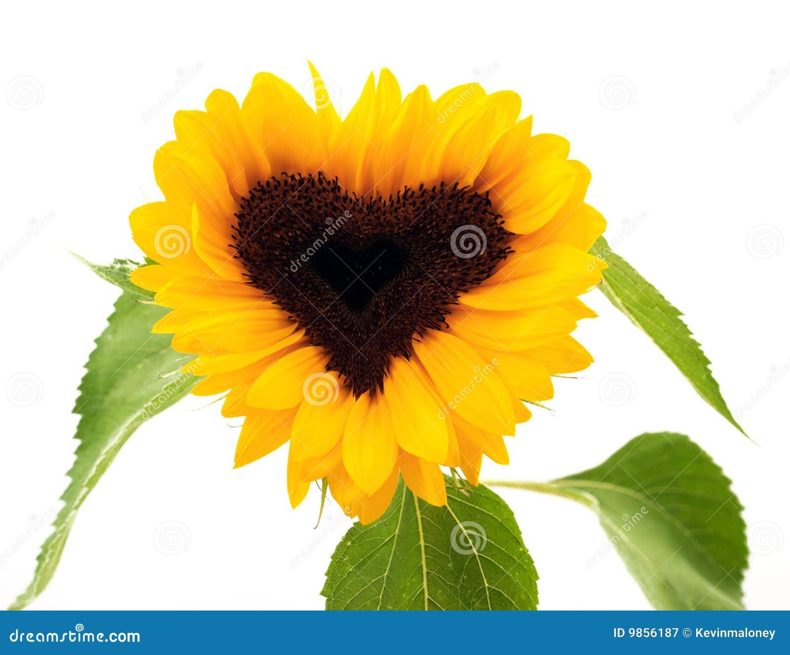 Heart-shaped Sonnenblume