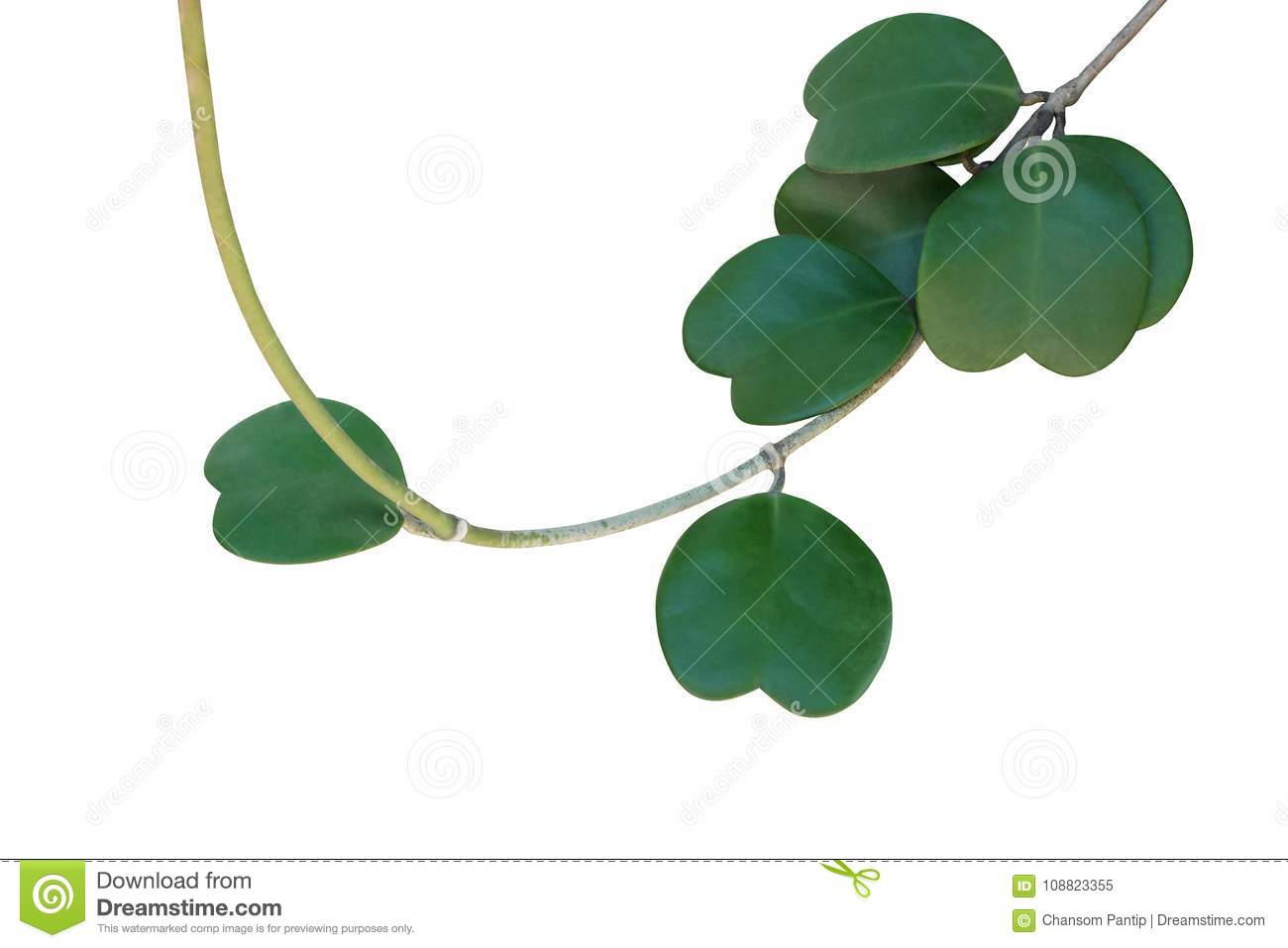 Heart Shaped Succulent Green Leaves Of Tropical Climbing Plant S