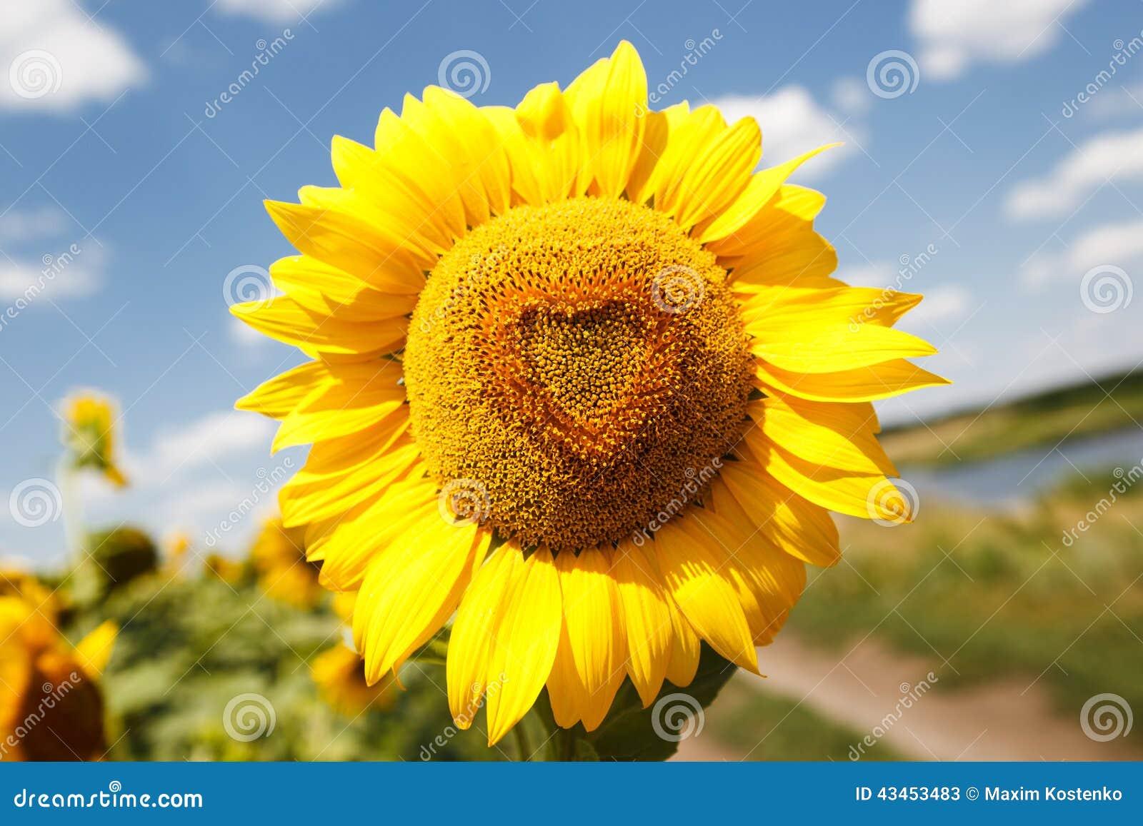 Heart Shaped Sunflower Stock Image. Image Of Season, Heart
