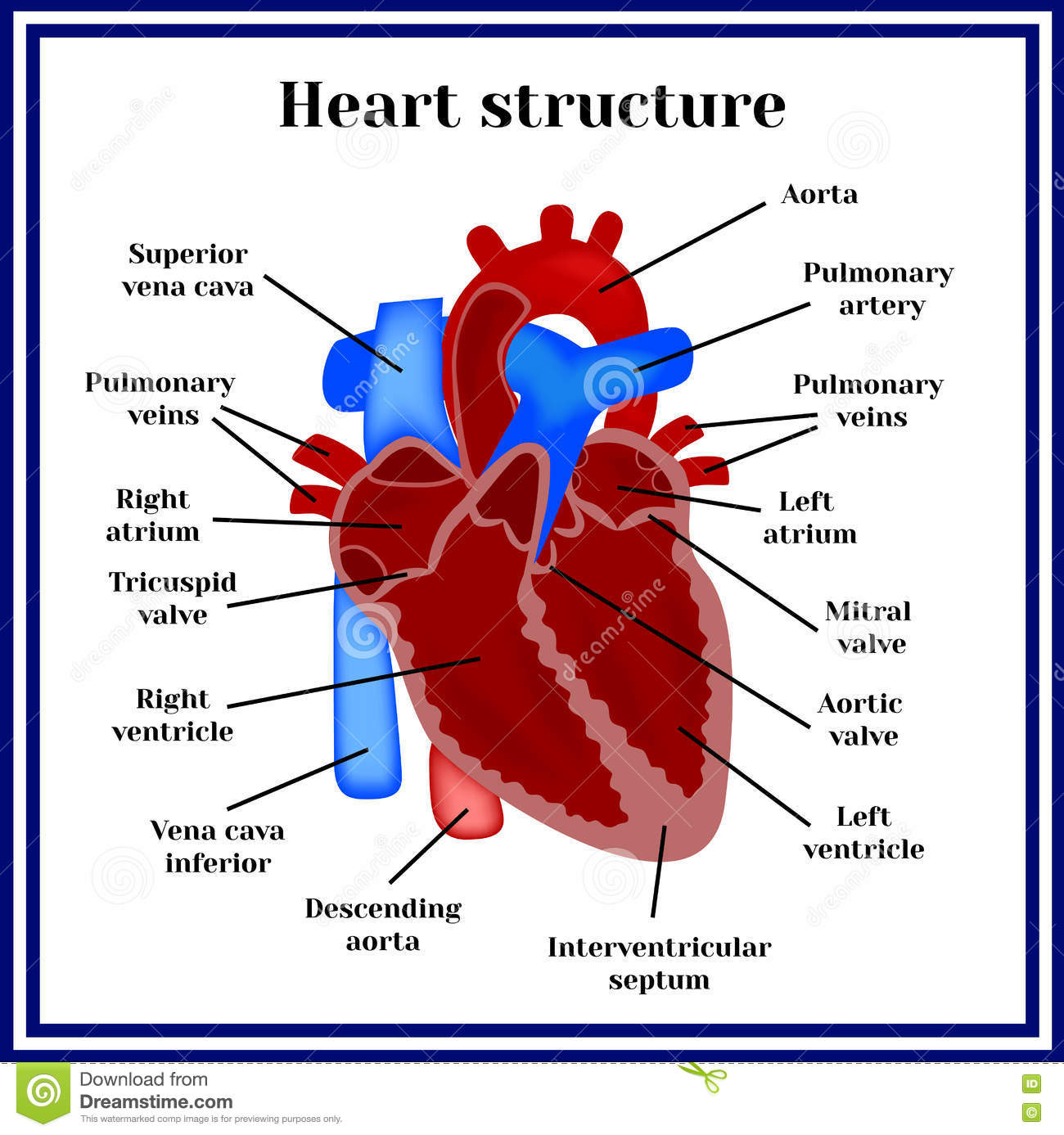 heart structure. the organ of the circulatory system stock vector, Cephalic Vein