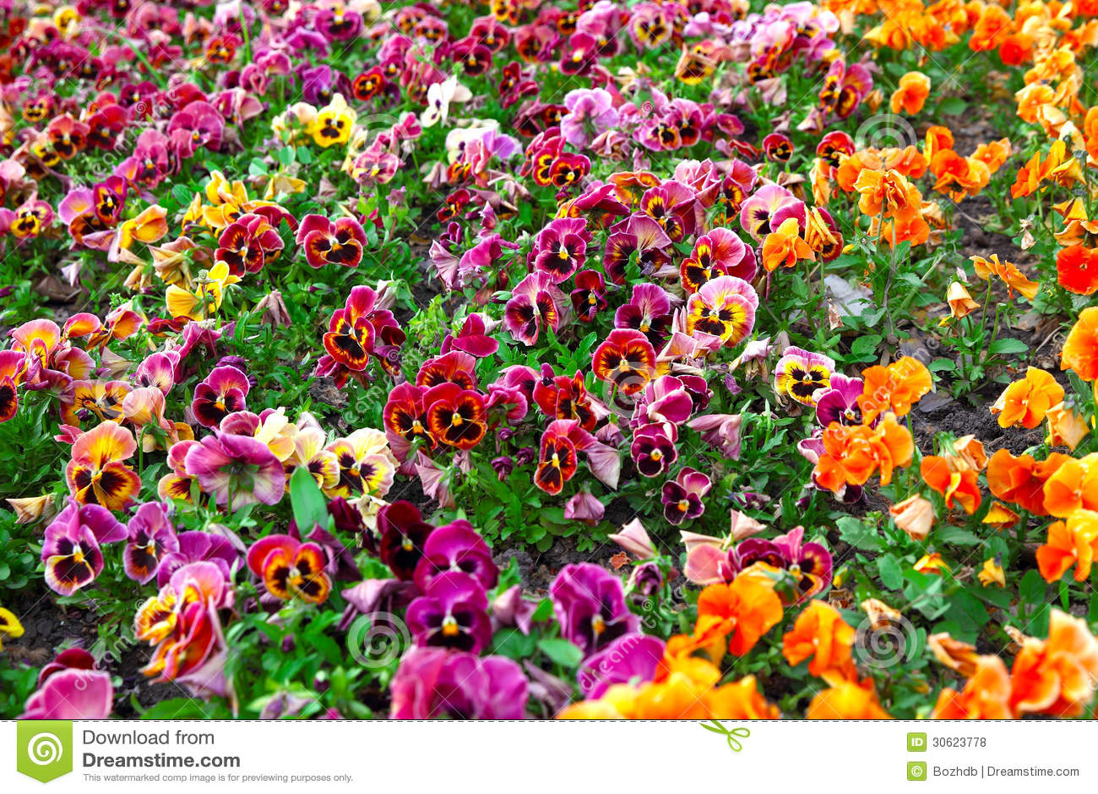 Blumengarten Bilder heartsease blumengarten lizenzfreie stockfotos bild 30623778
