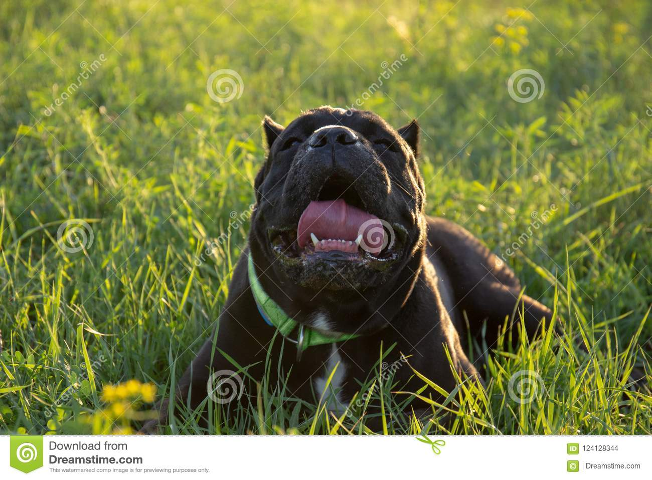 Heat Stroke In A Dog Male Black Purebreeded Cane Corso With Cropped