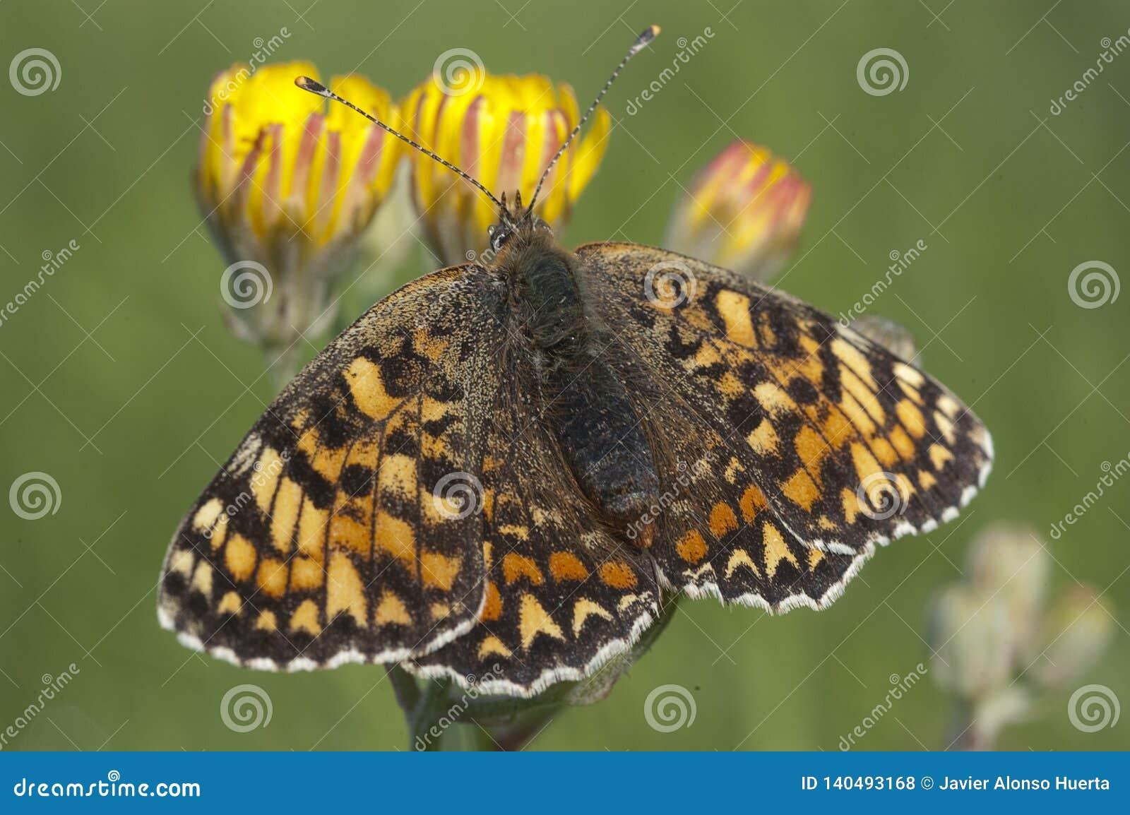 Heath Fritillary Melitaea athalia på gräset, fjäril