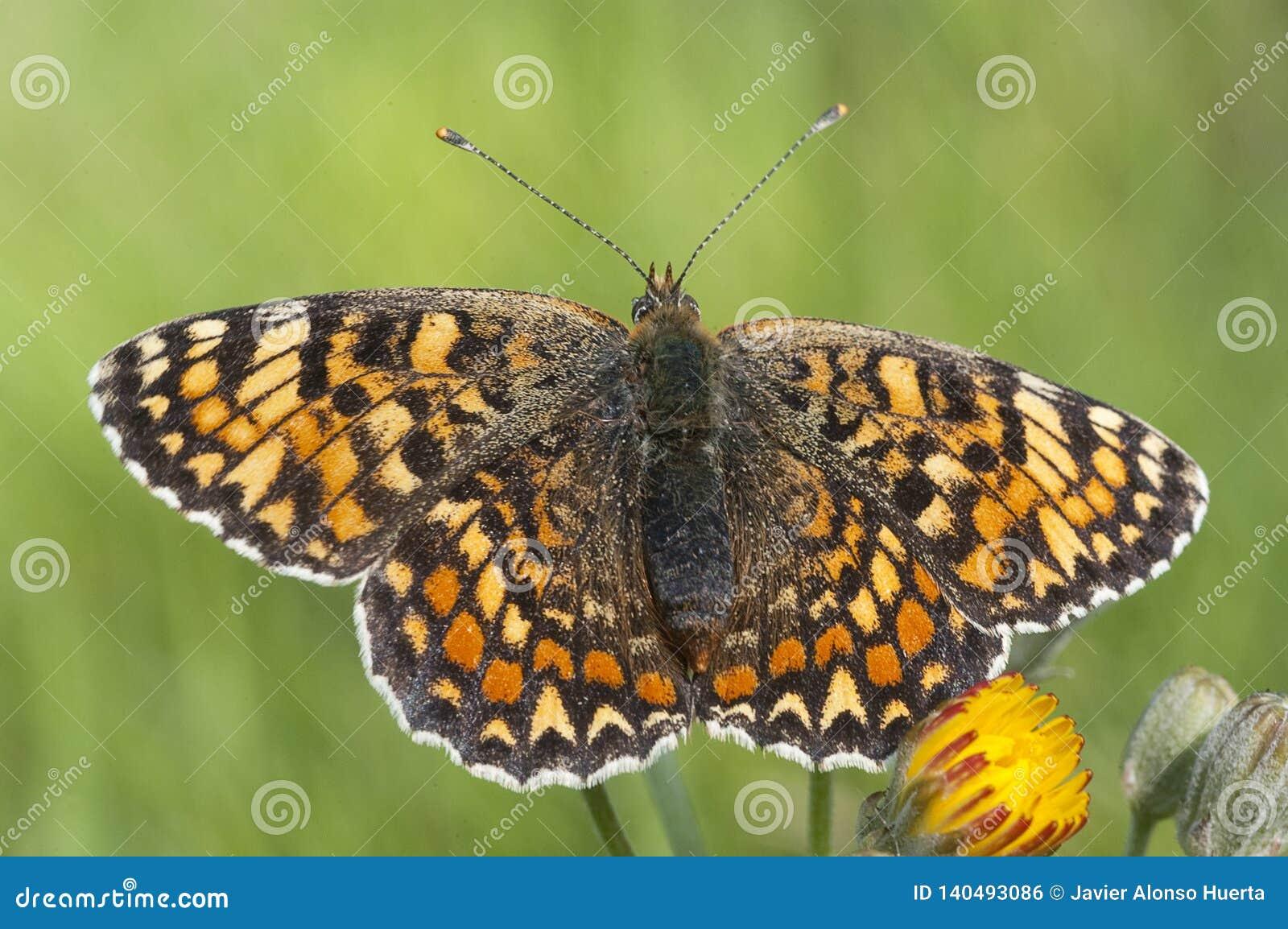 Heath Fritillary, Melitaea athalia som vilar, fjäril