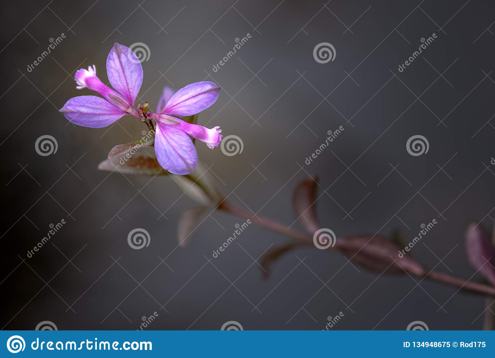 Heath Milkwort Polygalaserpyllifolia Corriemulzie gods, Skottland