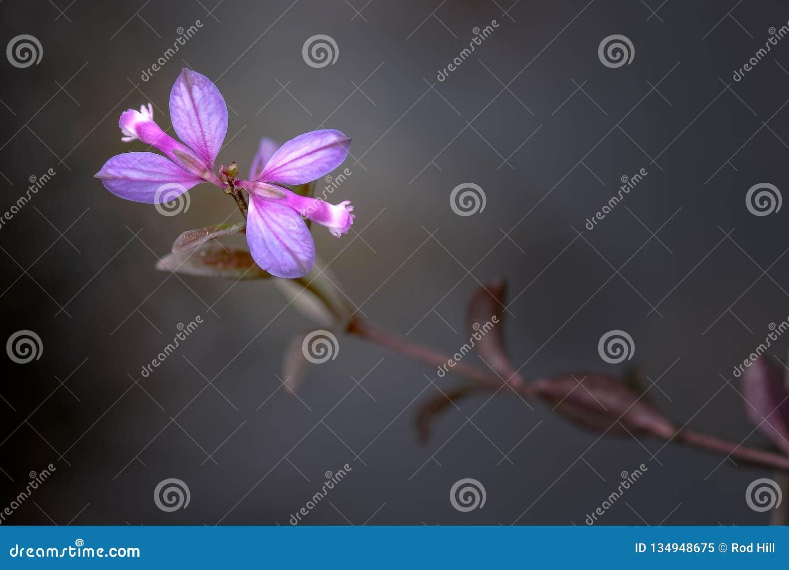 Heath Milkwort, serpyllifolia del Polygala Estado de Corriemulzie, Escocia