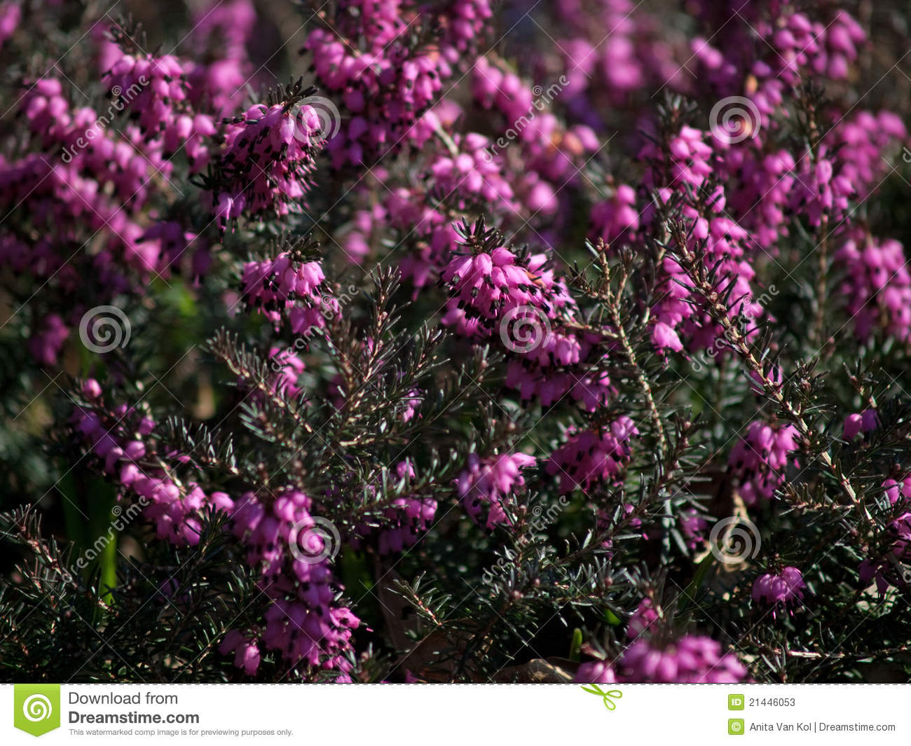 Detail of a pink heather bush