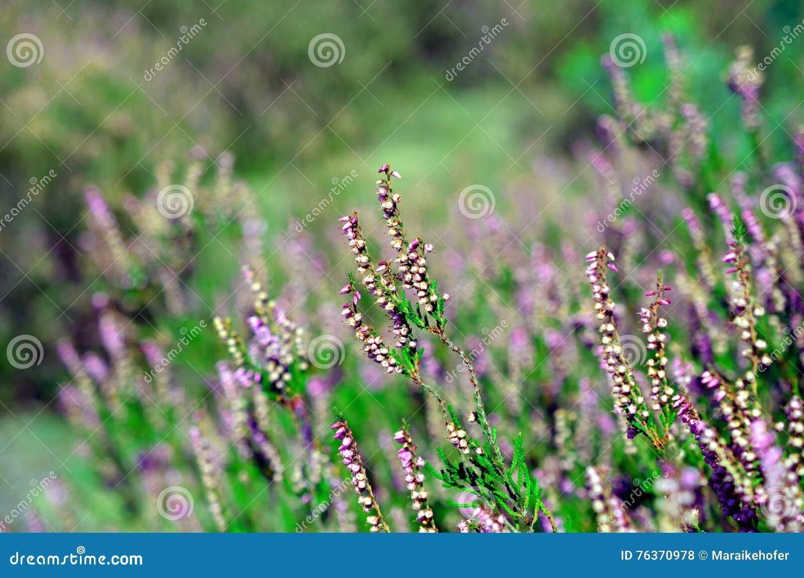 Heather Fleurit La Fleur En Aout Photo Stock Image Du Vert Beau
