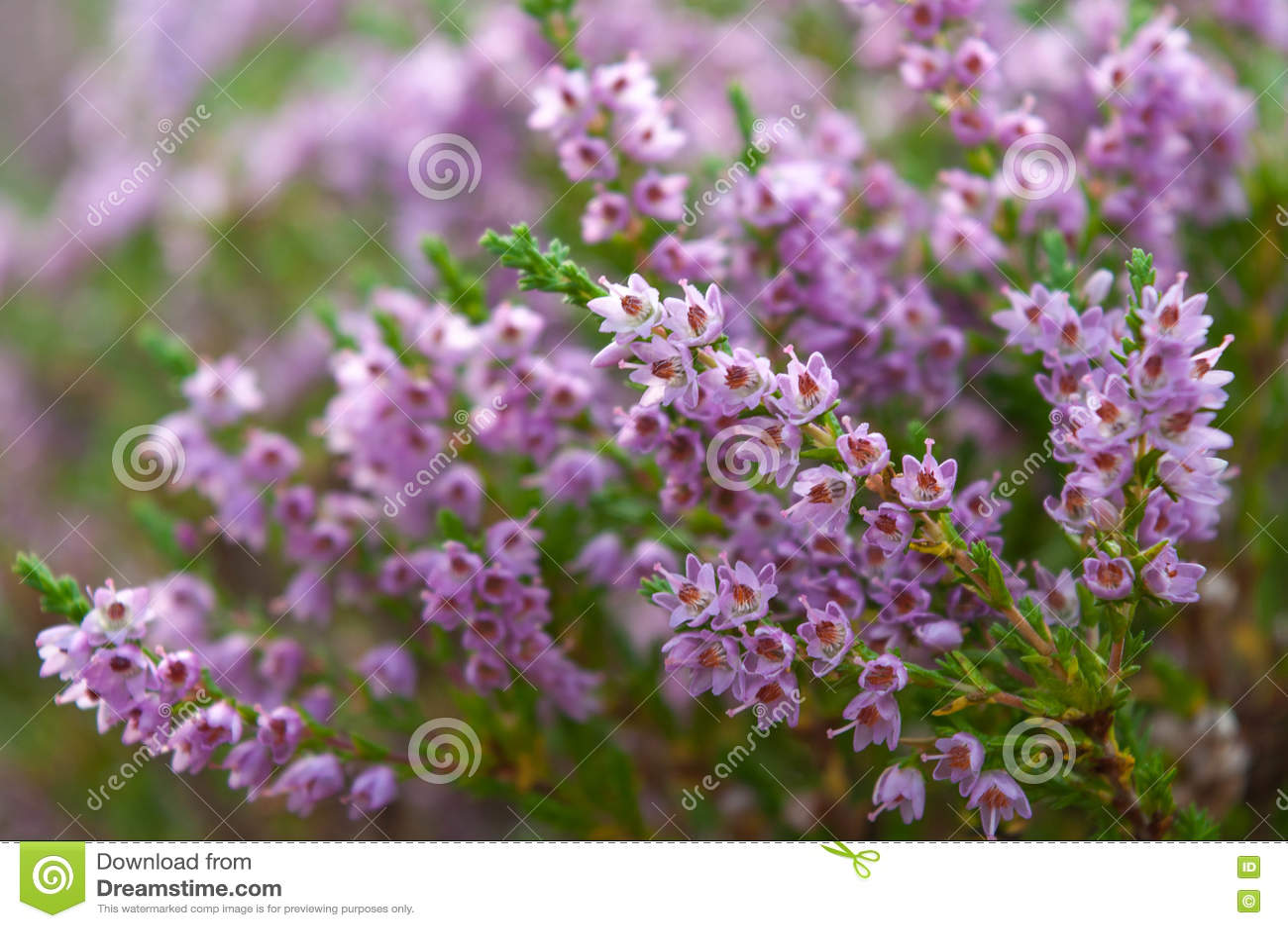 Heather Fleurit La Fleur En Aout Photo Stock Image Du Erica