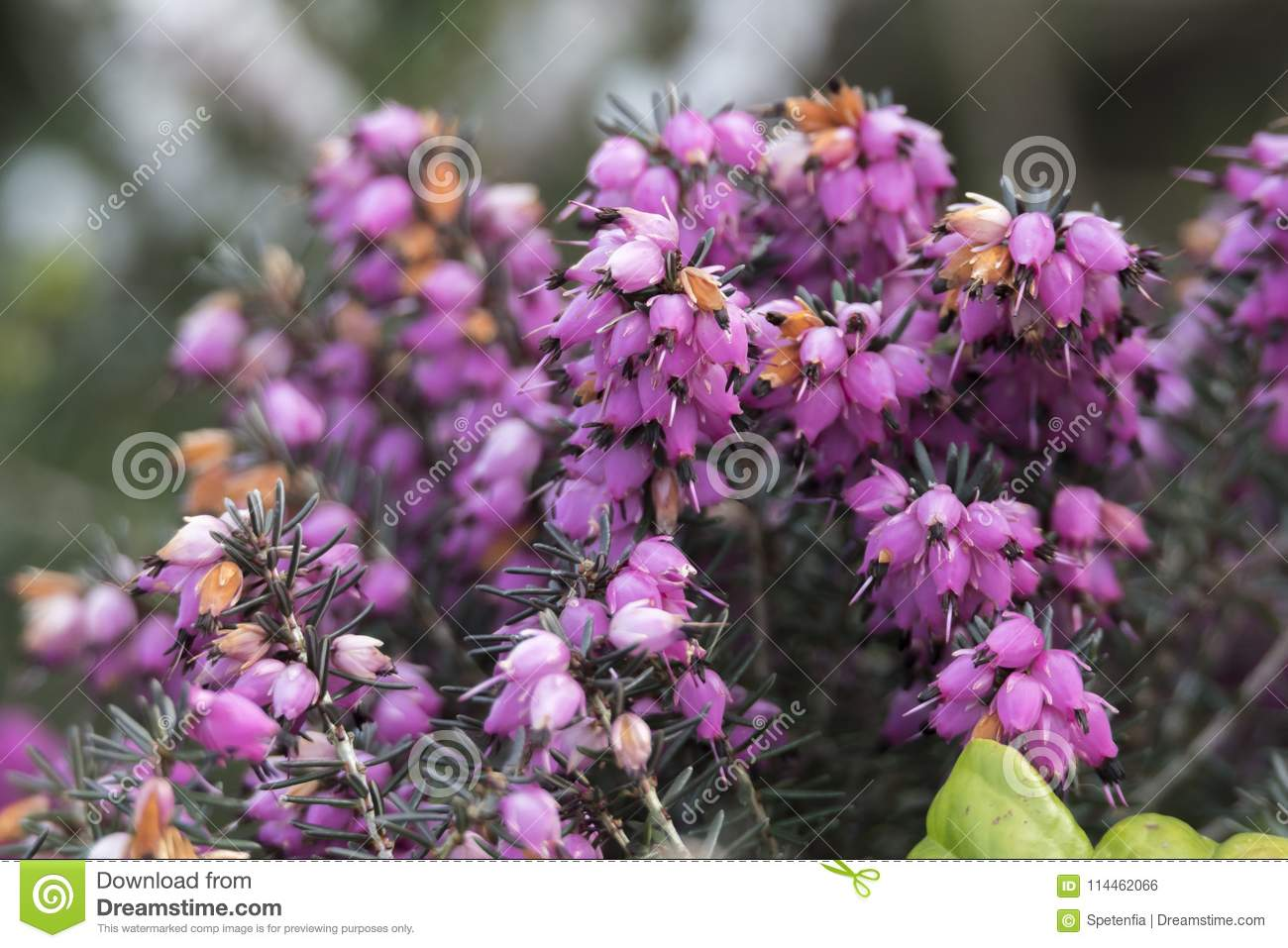 Heather flower in bloom stock photo image of season 114462066 heather flower in bloomin spring mightylinksfo