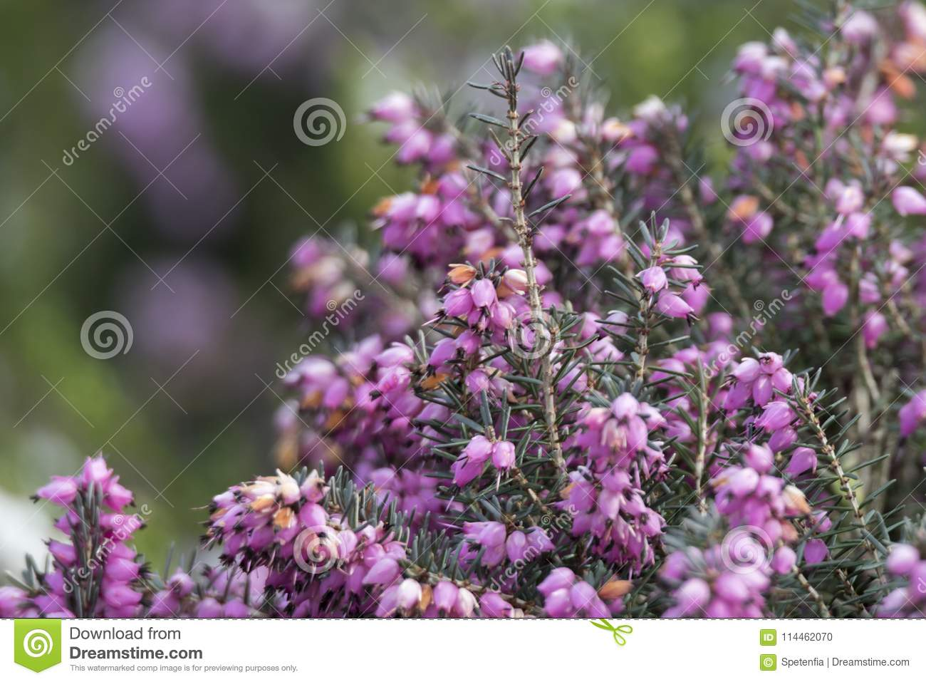 Heather flower in bloom stock photo image of plant 114462070 royalty free stock photo mightylinksfo