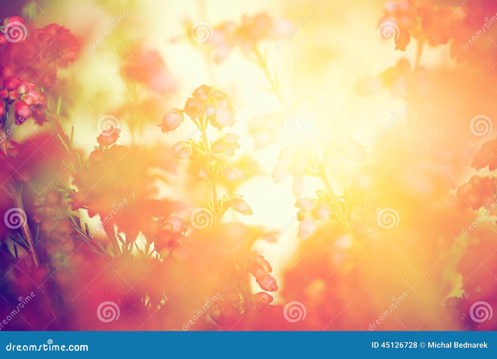 Heather flowers on a fall, autumn meadow in shining sun