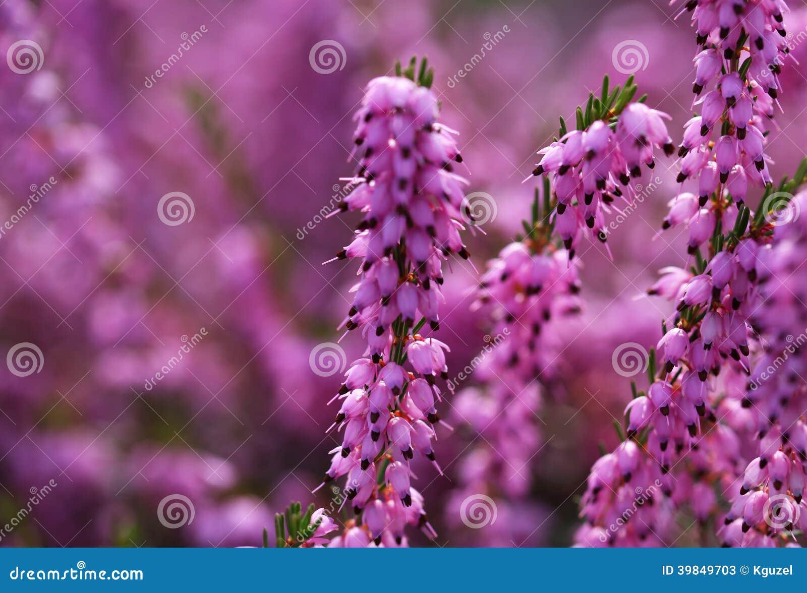 Heather Flowers Purple Calluna Stock Image Image Of Erica Head
