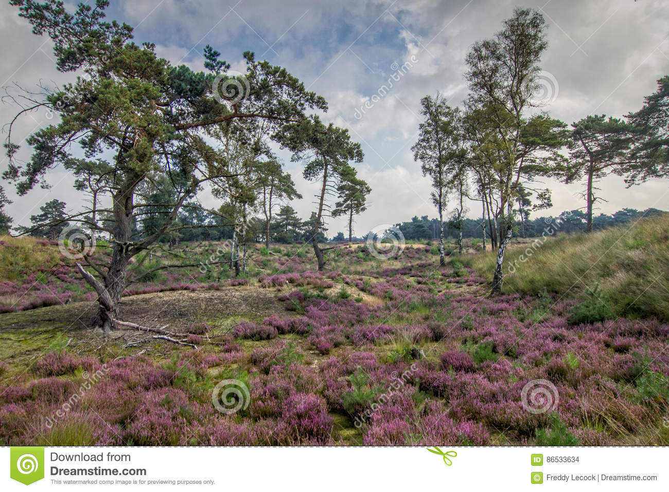 Heather in Kalmthout Belgium