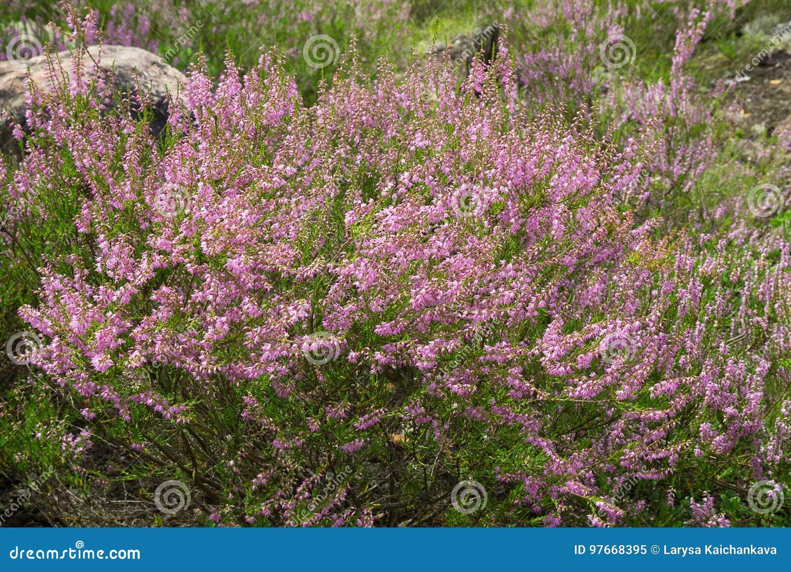 Heather purple flowers stock image image of flower heathery 97668395 heather purple flowers calluna evergreen shrub small leaves pink bee flies flower to flower wind shakes 97668395g mightylinksfo