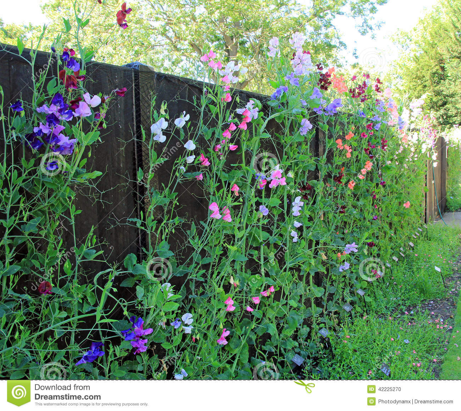Heavenly Sweet Peas Stock Photo Image 42225270