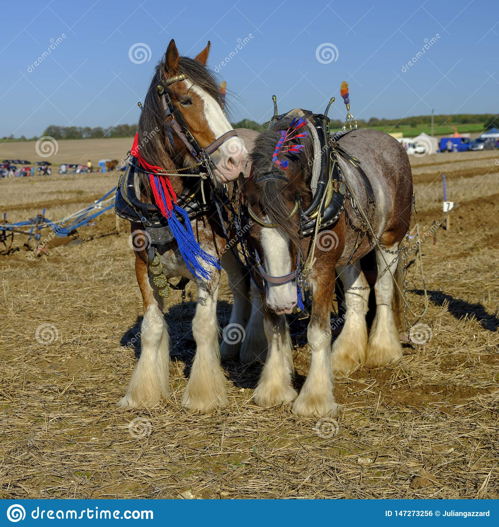 Heavy Horses ploughing competition at the SCHHA - South Coast Heavy Horse Association - annual show near Soberton 2018, Hampshire