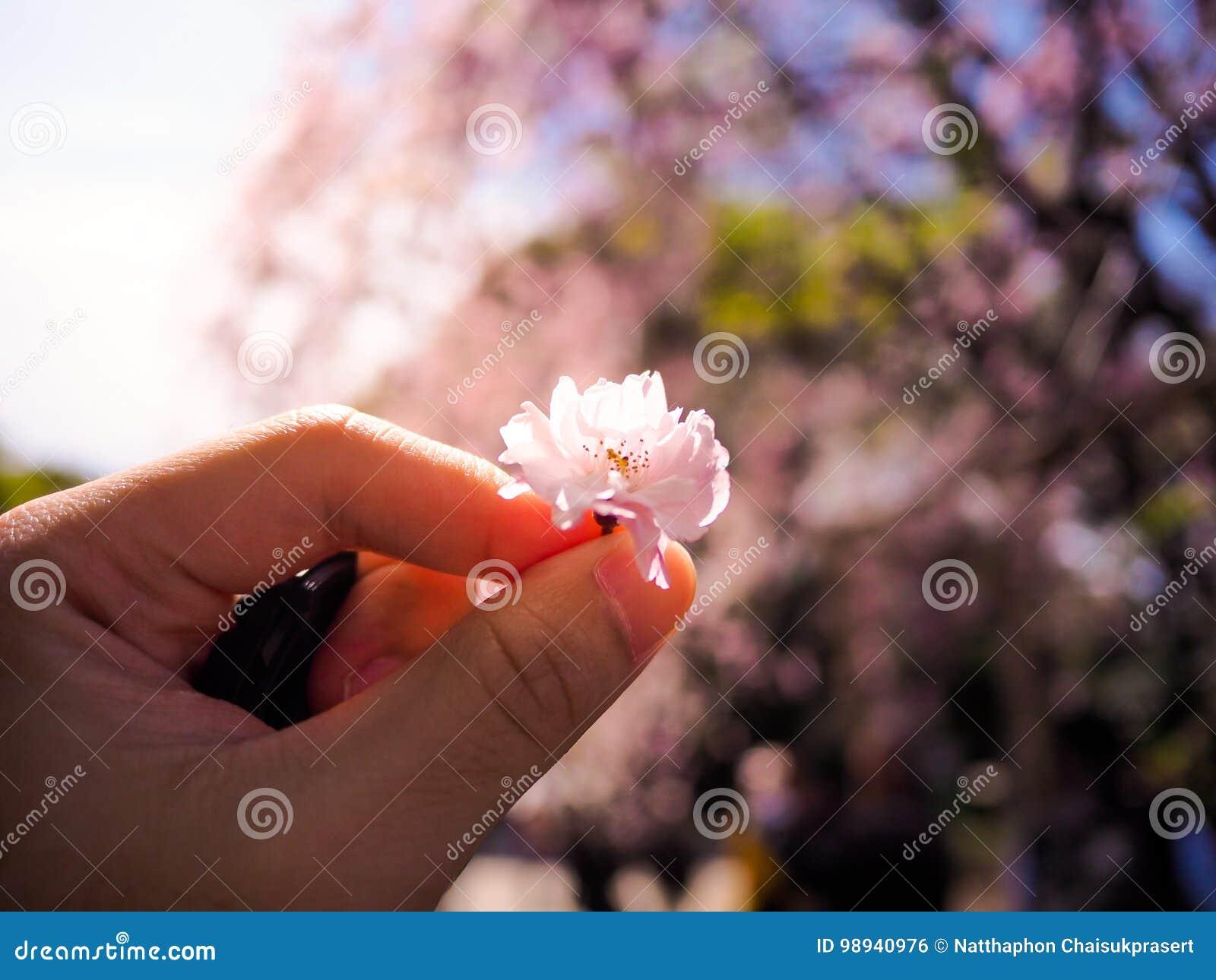 Heben Sie eine schöne und bunte Kirschblüte, Kirschblüte auf