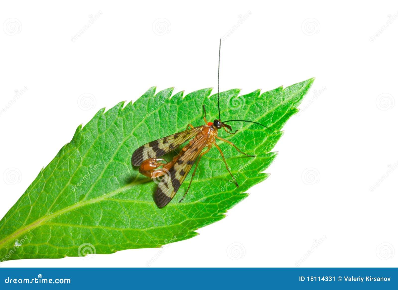 Heck 5 des Insekt-Skorpions
