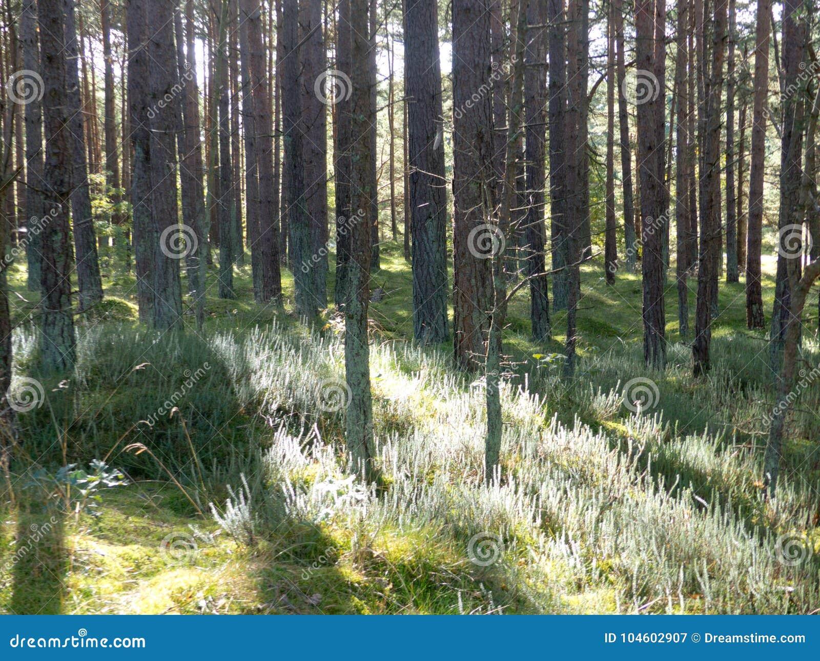 Hed i trät, sol för treeebranches för lövruskor för gryning för ljus för closeup för slut för träd för filialer för ljungträskog