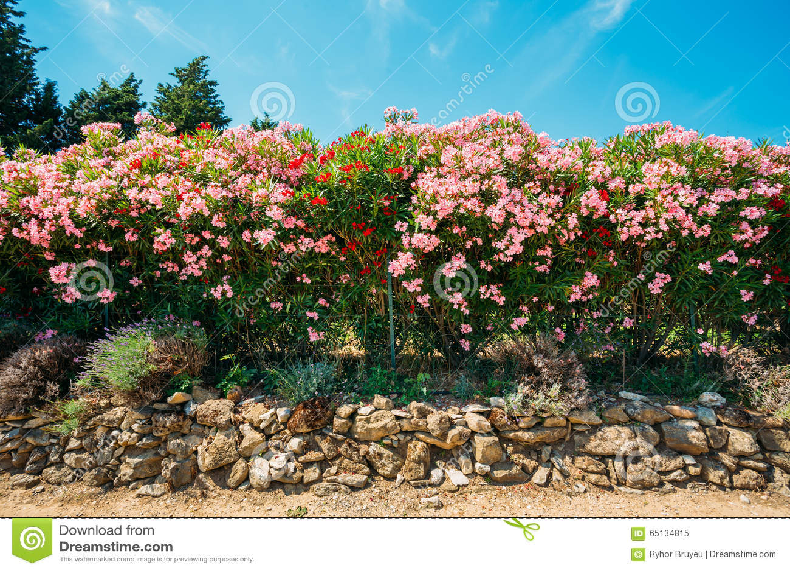 Hedge Of Flowering Shrubs. Pink Flowers. Garden Stock Image - Image ...