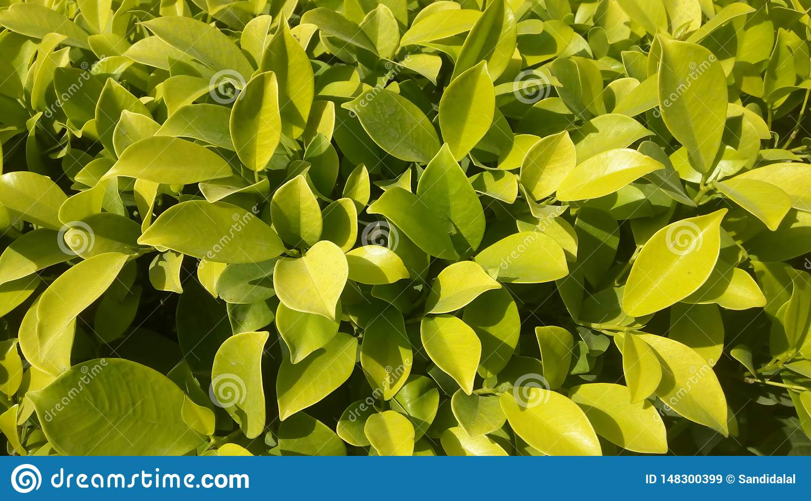 Hedge green plant, natural texture, tiny green leaves in the garden